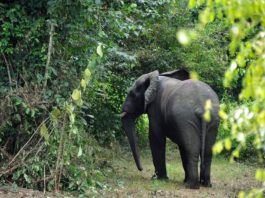Elephant injured by poachers kill father and son in Liberia
