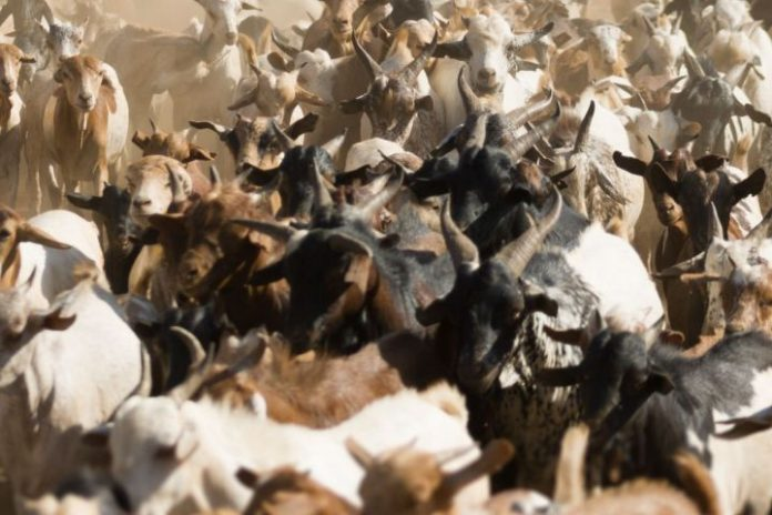 Police in Ethiopia 'arrests' opposition politician's goats
